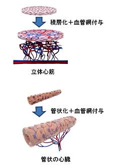 立体心筋と管状の心臓のイメージ図