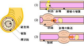 腸のぜん動運動を示した図