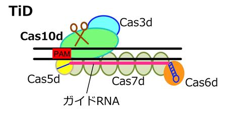 """新しいゲノム編集技術""""TiD""""の模式図"""