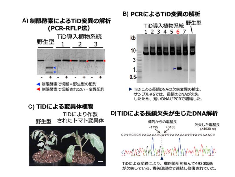 TiDを用いたゲノム編集によるトマト変異体の作出の図
